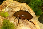Hydrophilus piceus
